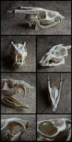 Muntjac Skull #2 by CabinetCuriosities