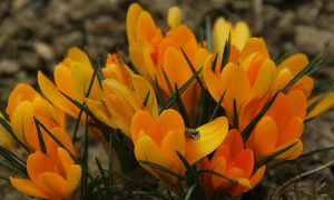 Crocuses by black-ladybird
