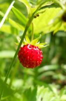 Little wild stawberry by zuzkat