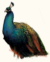 Peacock Sketch by White-Tean
