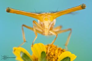 Stalk-eyed Fly by ColinHuttonPhoto
