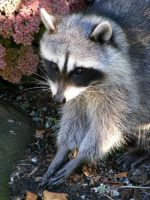 RACCOON 1 by T-Thomas