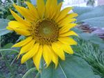 Sunflower 01 by Ruicospa by ruicospa