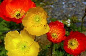 Poppies by PamplemousseCeil