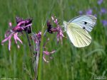 Cabbage White by PaSt1978