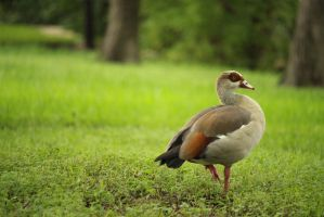 Duck In The Grass by kwuus