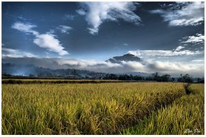 Rice_Field by curioslife