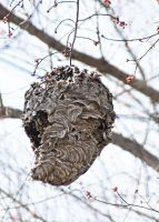 Old Paper Wasp Nest by muffet1