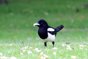Young Magpie by pagan-live-style