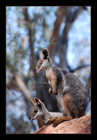Yellow-Footed Rock Wallaby by 0-kelley-0