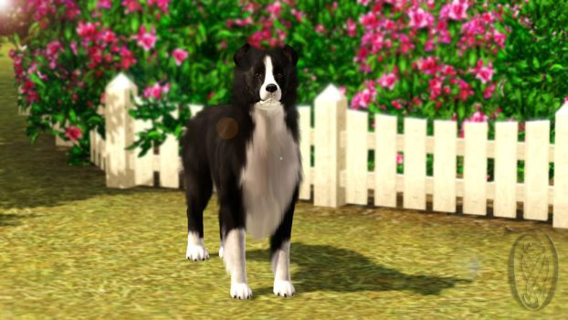 Sims 3 Border Collie - The name is Wahsar by SpirityTheDragon