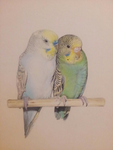 Budgies by shell31