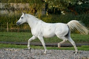 Grey Mare Stock by Colourize-Stock