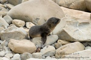 Fur Seal Pup Profile by Shadow-and-Flame-86