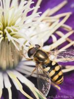 Macro Fly by nc-hansson