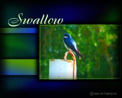 Swallow by PeterPawn