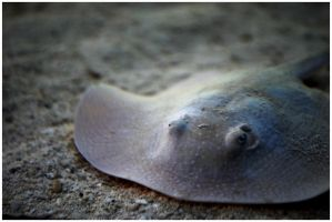 Sting Ray by ospr