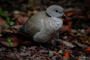 Domesticate turtledove by smaccks