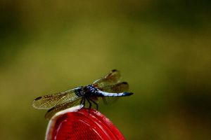 Blue Dragonfly by Geak-of-Nature