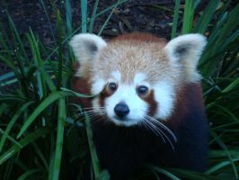 Red Panda by courage7
