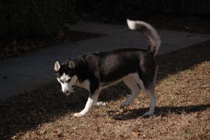 Siberan Husky In Sun 1 by AquaVixie