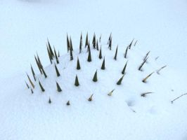 Snow and Spines by LaurelPhotoandCraft