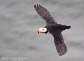 Horned Puffin by FForns