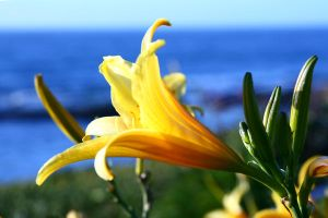 day lily 1 by stockofshutterbugmom