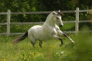 Lusitano Stallion by Blashina