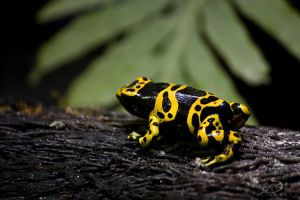 Poison Dart Frog by Linkineos