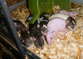 Girl Rats Sept 2014 by usedbooks