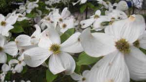 Dogwood Tree In Bloom Stock by RX-stock