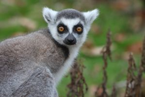 Ring-Tailed lemur by Skarkdahn