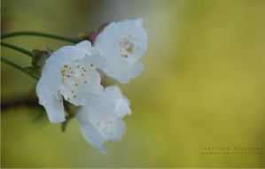 Delicate blossoms by scadias