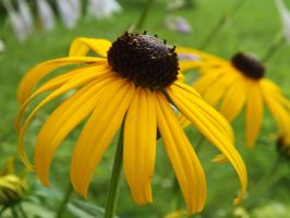 Black-eyed Susan II by AppleBlossomGirl