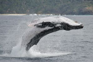 Humpback breaching by Oracle88