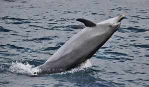 Dolphin Breaching by Oracle88