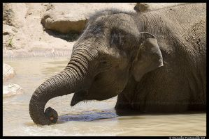 Asian Elephant by TVD-Photography