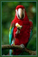Scarlet Macaw by SteelCowboy