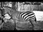 zebra by Iulian-dA-gallery