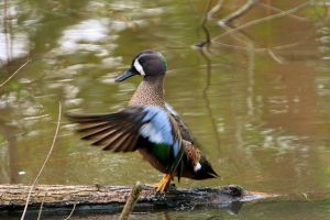 Blue-winged Teal II by UndeterminedBreed