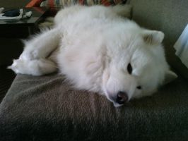 Samoyed Bek 4 by Nenad87