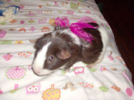 Guinea Pig With Ribbon by Millerkatrina28