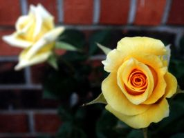 Yellow Roses by TrekkieTechie