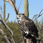 Horned Owl by mammothhunter