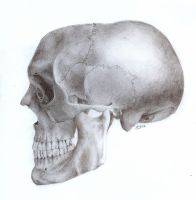 Skull - Side View by TheSimplyLovely