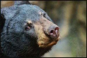 Black Bear by WiccanWT