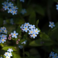 Forget me not IV by Freya7