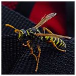 Wasp by e-coli