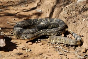 Rattler 2 by jake10684